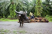 Harvest the fruits of oil palm with Buffalo - Borneo