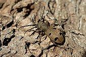 Dusky Morimus Beetle female on bark - Corsica France