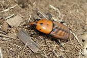 Red palm weevil on ground - Corsica France
