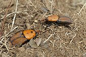 Red palm weevils on ground - Corsica France