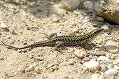 Italian wall Lizard on ground - Corsica France  ; Eastern coast of Corsica