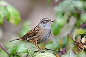 Dunnock on a branch - Midlands UK