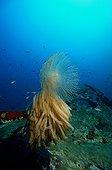 Squid eggs on Spirograph - Mediterranean Sea France ; Wrecked barge