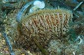 Pen shell in seagrass - Mediterranean Sea France