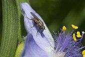 Mouche régurgitant sur fleur d'Ephémère de Virginie - France