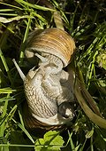 Burgundy snails mating in the grass - France