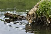 Coyote drinking water - Minnesota Wildlife Connection  USA
