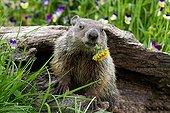 Woodchuck eating dandelion-Minnesota Wildlife Connection USA