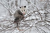 Virginia opossum in a Snowy Tree - Ohio USA