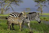 Burchell's zebra and her foal at Nakuru NP - Kenya
