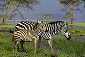 Burchell's zebra and her foal at Nakuru NP - Kenya