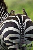 Red-billed oxpeckers on Burchell's zebra - Nakuru NP - Kenya