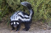 Striped polecat - Namibia