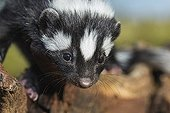Striped polecat portrait - Namibia