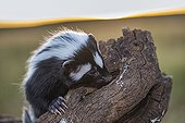 Striped polecat looking for food - Namibia