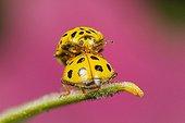 22-spot ladybirds mating - Alsace France