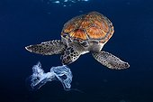Green sea turtle trying to eat a plastic bag. It looks like a jellyfish. Shot made between 3 and 4 metres deep.