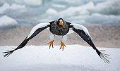 Steller's Eagle in flight in winter - Hokkaido Japan