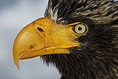 Portrait of Steller's Eagle in winter - Hokkaido Japan