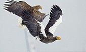 Steller's sea Eagle and White-tailed sea Eagle in flight