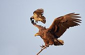 White-tailed sea eagle and Hooded Crow  - Norway
