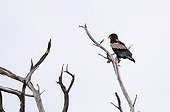 Bateleur Eagle on a dead tree - Savuti  Chobe Botswana