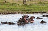 Hippopotamus in water - Khwai Okavango Delta Botswana
