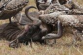 Vultures feeding on wildebeest carcass - Masai Mara Kenya