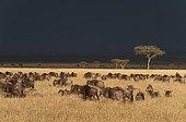 Gnous à queue noire dans la savane - Masaï Mara Kenya