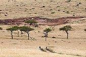 Paysage de savane arborée - Masaï Mara Kenya