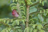 Common Rosefinch male on a branch - Finland