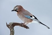 Eurasian Jay on a branch - Norway