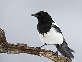 Magpie on a branch - Norway