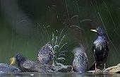 Common Starlings bathing - Hungary