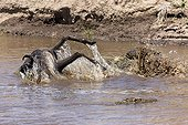 Crocodile catching blue wildebeest - Masai Mara NR - Kenya ; Crocodile capturant un Gnou dans la rivière Mara au Kenya