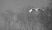 Red-crowned Crane in flight under the snow - Hokkaido Japan