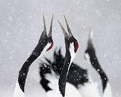 Red-crowned Cranes displaying under the snow, Hokkaido, Japan