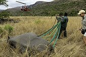 Airlift of a black rhinoceros between reserves in Namibia ; Black Rhinoceros being prepared for airlift by helicopter.<br>Capture officer Jed Bird supervising the airlift.