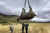 Airlift of a black rhinoceros between reserves -South Africa ; Black Rhinoceros being prepared for airlift by helicopter.<br>Capture officer Jed Bird supervising the airlift.