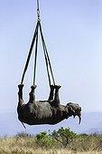 Airlift of a black rhinoceros between reserves -South Africa ; Transport aérien de Rhinocéros entre réserves-Afrique du Sud