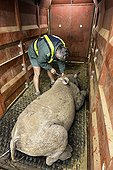 Transport of black rhinoceros between reserves -South Africa ; Black Rhinoceros being loaded into a crate for translocation.