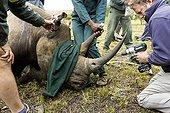 Rhinoceros being prepared with radio transmitter