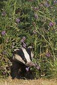 Badger amongst teasel in summer GB