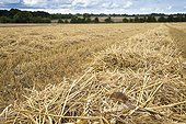 Harvest mouse on straw in a field in summer GB