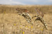 Harvest mouses on wheat in summer GB