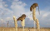 Rats des moissons sur des épis de blé en été GB
