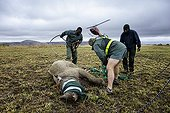 Reintroduction of black rhinoceros in a reserve-South Africa ; Black Rhinoceros being released into a protected area