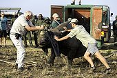 Reintroduction of black rhinoceros in a reserve-South Africa ; Black Rhinoceros being released into a protected area.<br>.Dr Jacques Flamand, assisting with the released rhino.