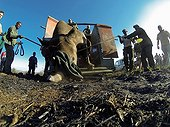 Reintroduction of black rhinoceros in a reserve-South Africa ; Black Rhinoceros being released into a protected area.<br>