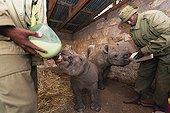 White orphaned baby rhinoceros being fed in Kenya